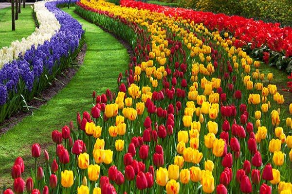 Tulip Garden Green Kashmir Travels